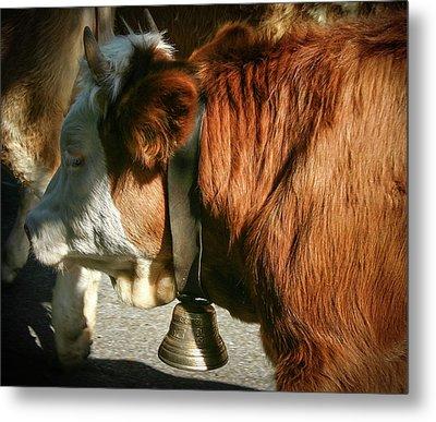 Cow Beautiful - Metal Print
