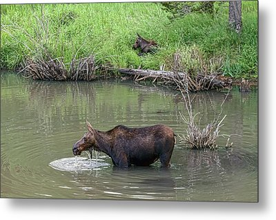 Metal Print featuring the photograph Cow Moose And Calf by James BO Insogna