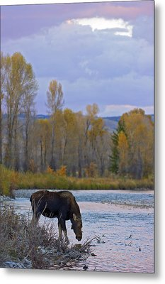 Cow Moose Evening Drink Metal Print by Gary Langley