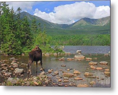 Cow Moose Looking Back At Sandy Stream Pond Metal Print by John Burk