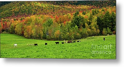 Cow Pasture In Fall Metal Print