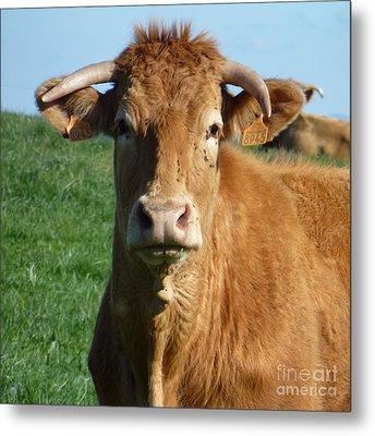 Cow Portrait Metal Print by Jean Bernard Roussilhe