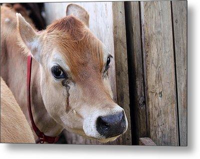 Cow Tear Metal Print by Bonnie Brann
