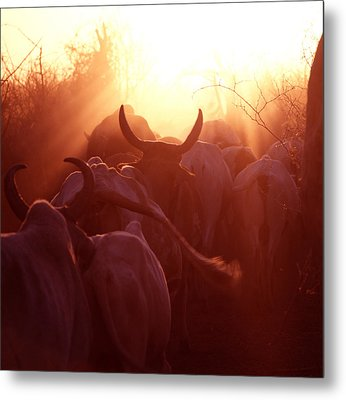 Cows Are Driven Into A Karimojong Kraal Metal Print by David Pluth