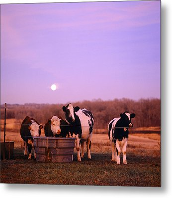 Cows At Sunset Delano Minnesota Metal Print by Panoramic Images