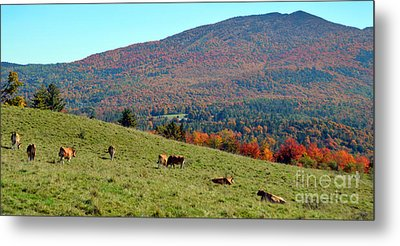 Cows Enjoying Vermont Autumn Metal Print by Catherine Sherman