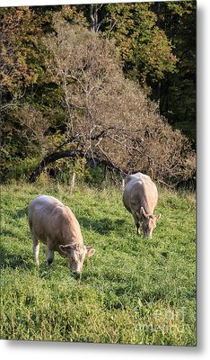 Cows Grazing In A Field Etna Nh Metal Print by Edward Fielding