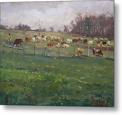 Cows In A Farm, Georgetown  Metal Print by Ylli Haruni