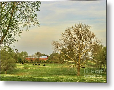 Cows In Field With Lone Tree In Field Metal Print by Photo Captures by Jeffery