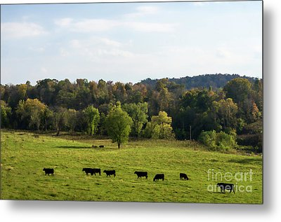 Cows Lined Up In Field Heading Toward Pond Kingston Springs Tn Farm Metal Print by Photo Captures by Jeffery