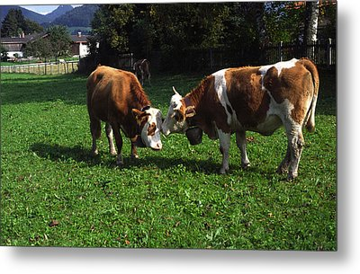 Metal Print featuring the photograph Cows Nuzzling by Sally Weigand