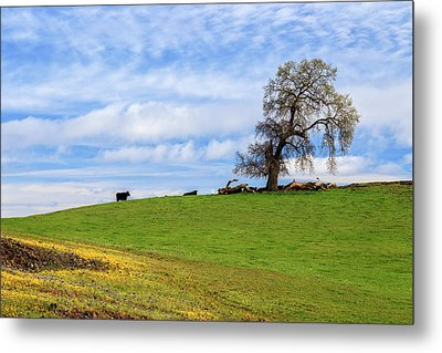 Metal Print featuring the photograph Cows On A Spring Hill by James Eddy