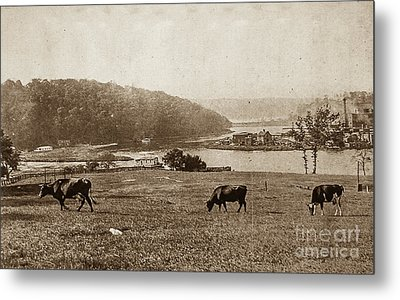 Metal Print featuring the photograph Cows On Baker Field by Cole Thompson