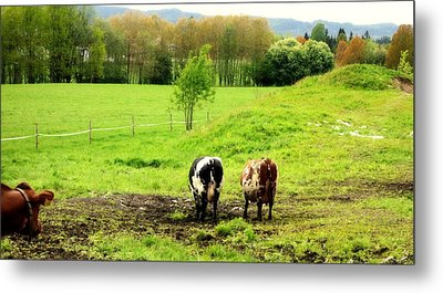 Nothing Is More Joyful Than Cows On Holiday  Metal Print by Hilde Widerberg