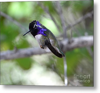 Coy Costa's Hummingbird Metal Print