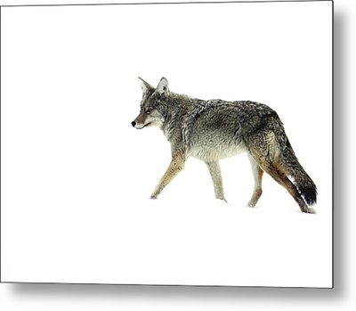 Metal Print featuring the photograph Coyote Crossing by Meagan  Visser