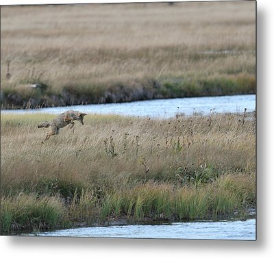 Coyote Hunting In Grass Metal Print by Photo by James Keith