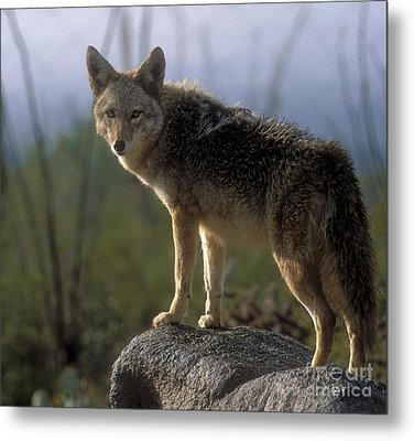 Coyote In Ocotillo Trees Metal Print by Sandra Bronstein