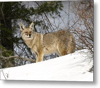 Coyote In Winter Metal Print by DeeLon Merritt