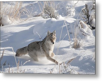 Coyote On The Move Metal Print