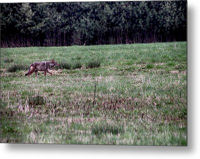 Coyote On The Prowl Metal Print by Bruce Patrick Smith