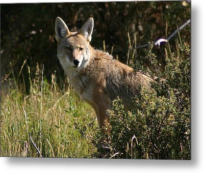 Coyote Resting Metal Print by Perspective Imagery