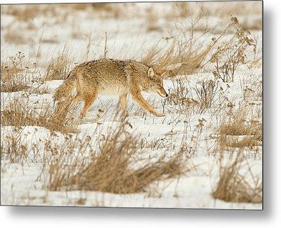 Coyote Stalk Metal Print
