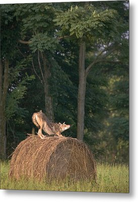 Coyote Stretching On Hay Bale Metal Print by Michael Dougherty