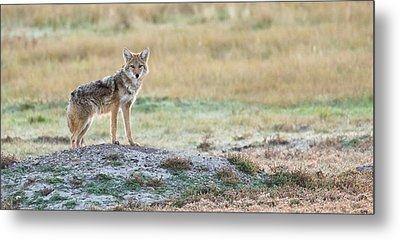 Coyotee Metal Print by Kelly Marquardt