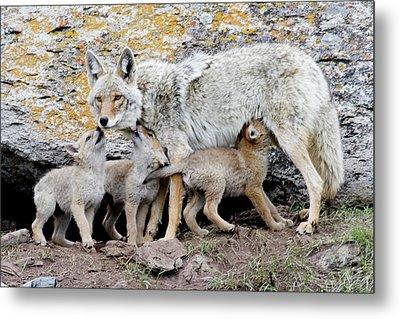 Coyotes Metal Print