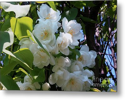 Crab Apple Blossoms 3 Metal Print by Marjorie Imbeau