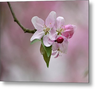 Crab Apple Blossoms Metal Print by Ann Bridges