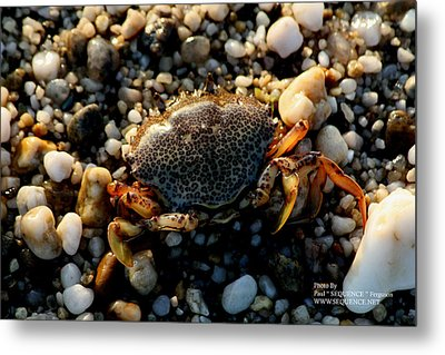 Metal Print featuring the photograph Crab On The Beach by Paul SEQUENCE Ferguson             sequence dot net