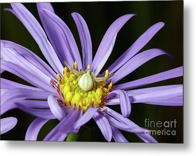 Crab Spider - Misumena Vatia - On Purple Aster Flower Metal Print