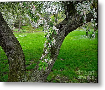 Crabapple Blossoms On A Rainy Spring Day Metal Print by Byron Varvarigos