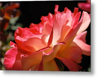 Cracklin' Rose Metal Print