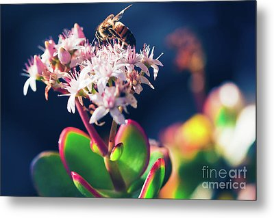 Metal Print featuring the photograph Crassula Ovata Flowers And Honey Bee by Sharon Mau