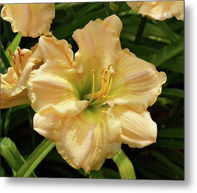 Metal Print featuring the photograph Cream Daylily by Sandy Keeton