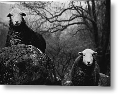 Metal Print featuring the photograph Creep Sheep by Justin Albrecht