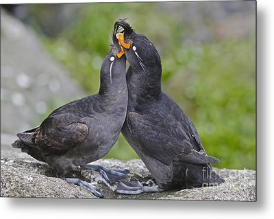Crested Auklet Pair Metal Print
