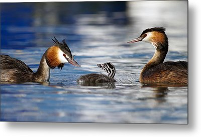 Crested Grebe, Podiceps Cristatus, Ducks Family Metal Print