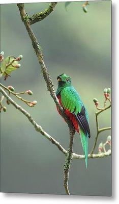 Crested Quetzal In Ecuador Metal Print by Juan Carlos Vindas