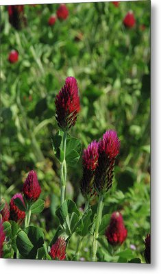 Metal Print featuring the photograph Crimson Clover by Robyn Stacey