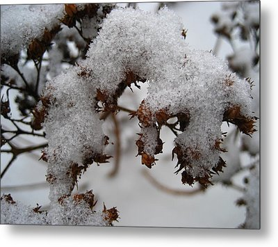 Crispy Sedum Metal Print by Sheryl Burns
