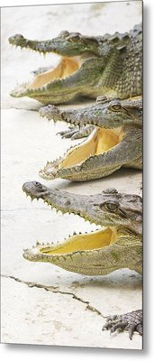 Crocodile Choir Metal Print