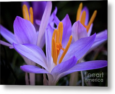 Metal Print featuring the photograph Crocus Explosion by Douglas Stucky