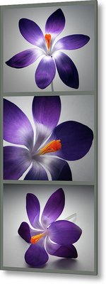 Crocus Triptych. Metal Print by Terence Davis