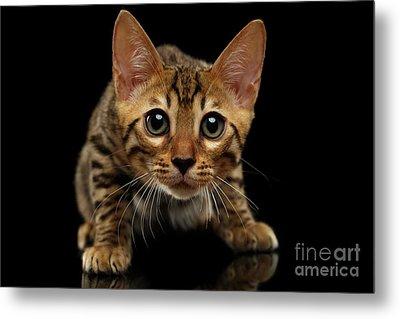 Crouching Bengal Kitty On Black  Metal Print by Sergey Taran