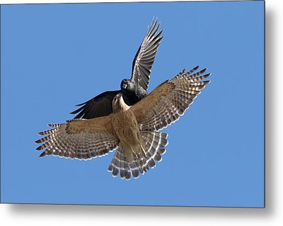 Metal Print featuring the photograph Crow Vs Hawk by Mircea Costina Photography