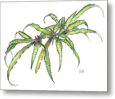 Cryptanthus Fred Ross Metal Print